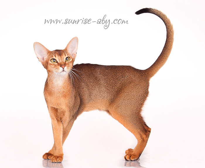 Abyssinian Cat Rescue Los Angeles